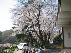 覚永寺の桜